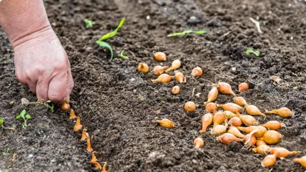7 помилок, які допускають дачники при весняній висадці цибулі. Що не варто робити при посадці цибулі?