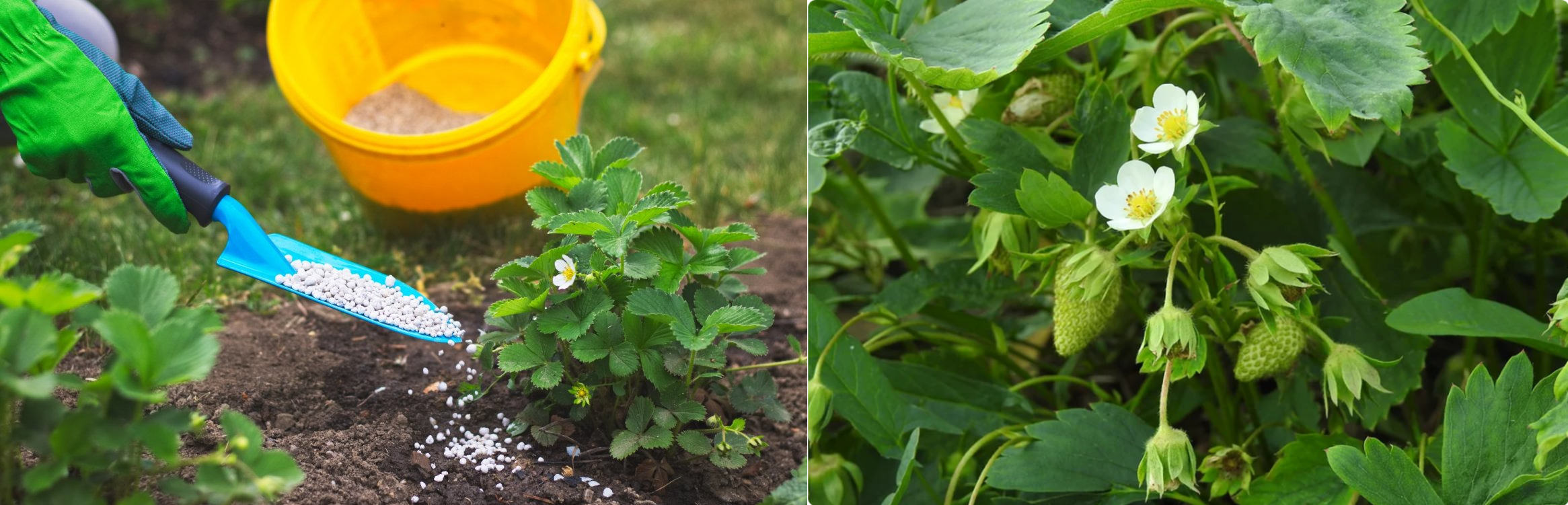 Урожай полуниці буде в 5 разів більше, якщо зробити 3 простих дії навесні