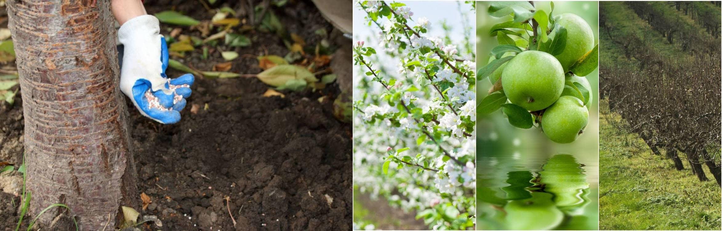 Чим підживити яблуню навесні, щоб вже в серпні збирати великі і солодкі яблука які не опадають. Ділюся рецептом