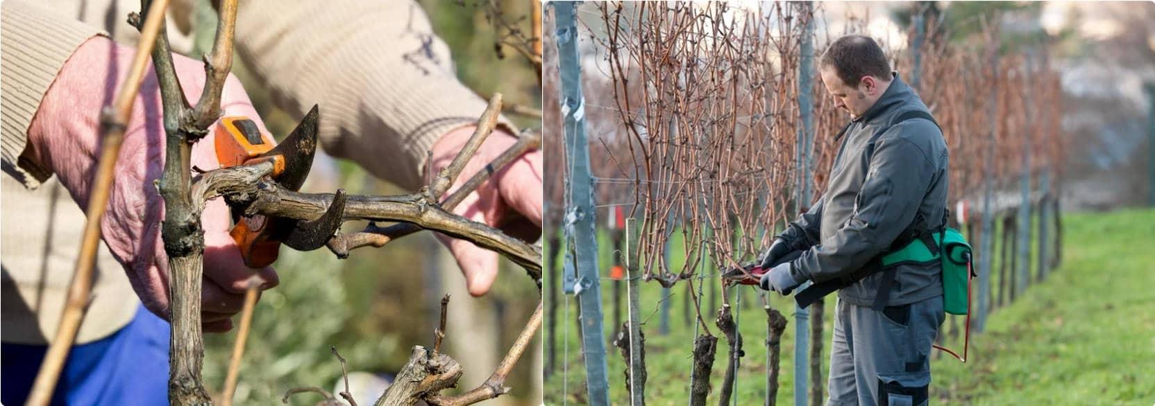 Обрізка винограду: як виключити помилки, та як правильно обрізати виноград
