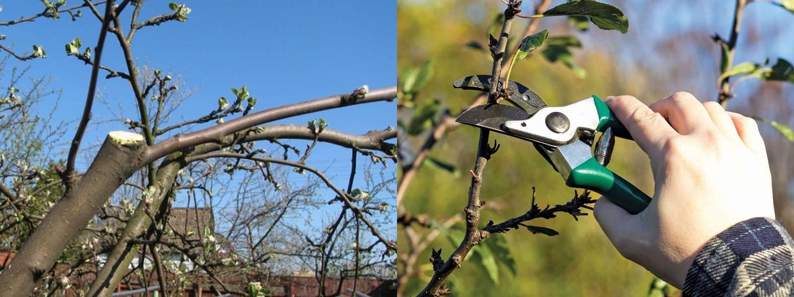 Як правильно обрізати яблуню весною, щоб вона добре плодоносила?