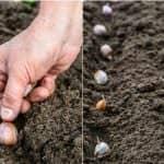 Як правильно садити часник навесні або восени
