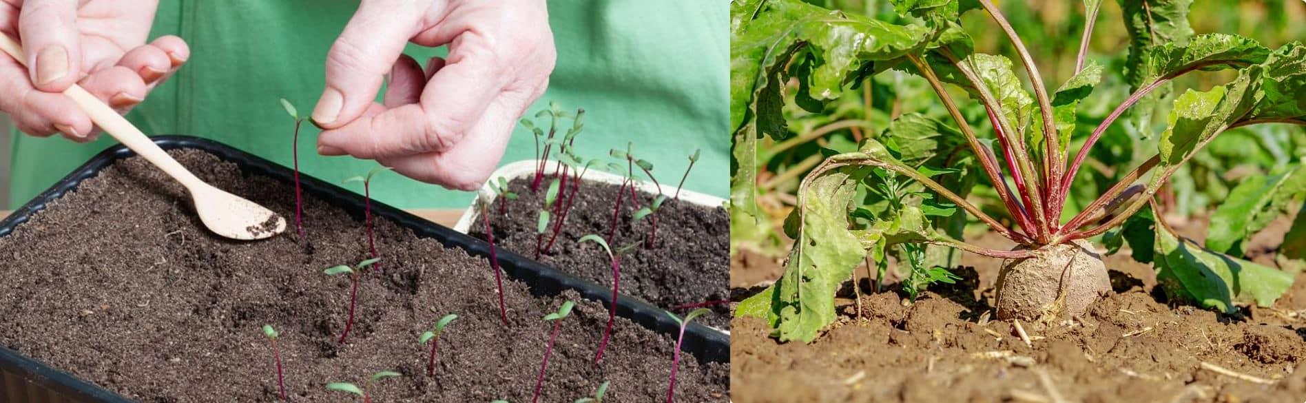 Збільшуємо солодкість буряка! Секрети вирощування у відкритому ґрунті