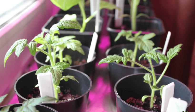 Що робити, щоб розсада помідорів росла товстенькою і кремезною?