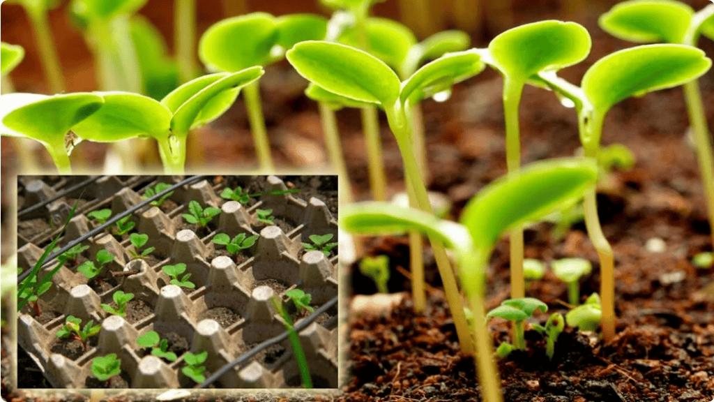 Легкий і ефективний спосіб посадки овочів за допомогою лотка з-під яєць. Ділюся способом, який дізналася від дачниці зі стажем