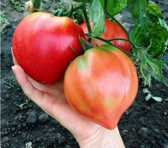 Використовую всього 3 розчина для отримання помідор на місяць раніше. Мій досвід!