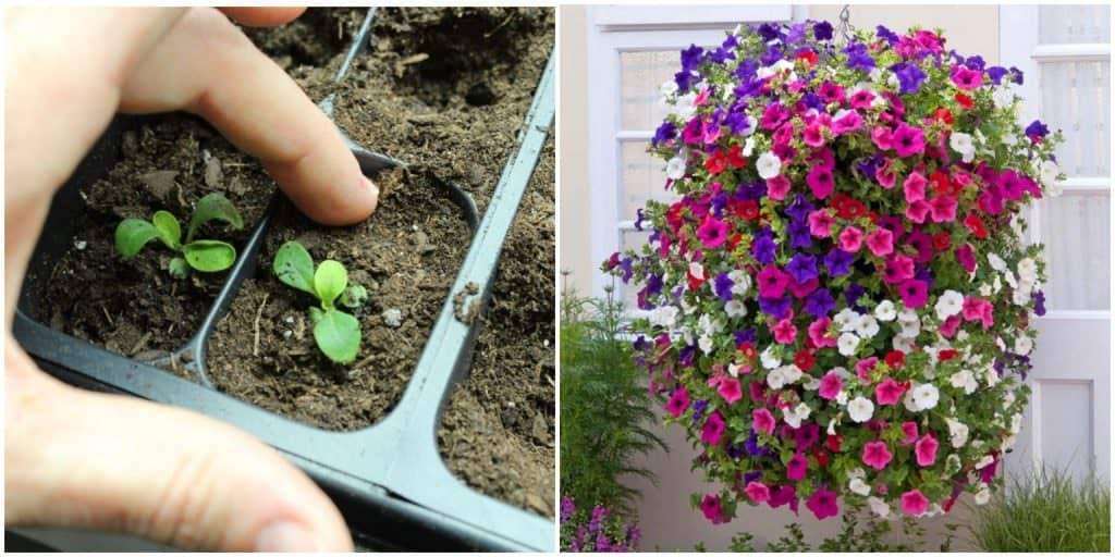 Як виростити петунію з насіння в домашніх умовах. Коли сіяти, та як правильно доглядати