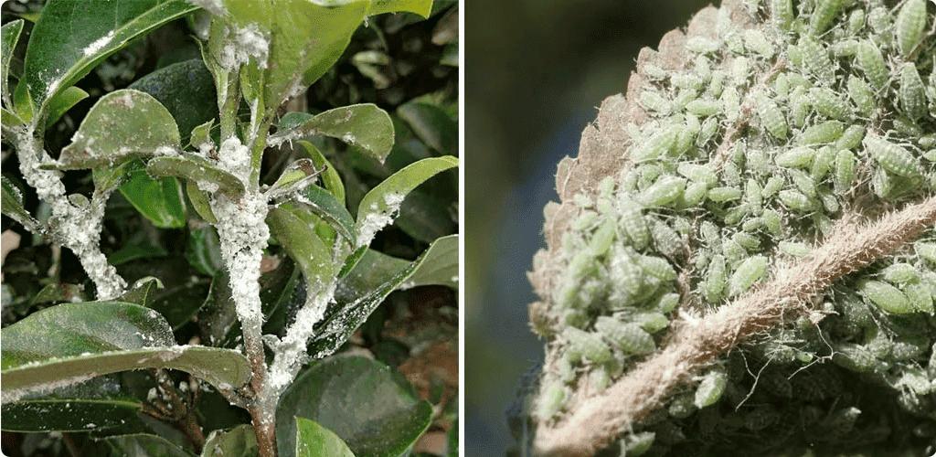 """Як знищити тлю """"попелицю"""" з вазонів: способи боротьби з комахами і заходи профілактики"""
